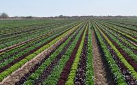Mixed Greens Field in Yuma, Arizona