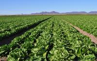 Romaine Fields in Yuma, Arizona