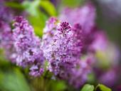 121st Annual Rochester Lilac Festival Poster Revealed