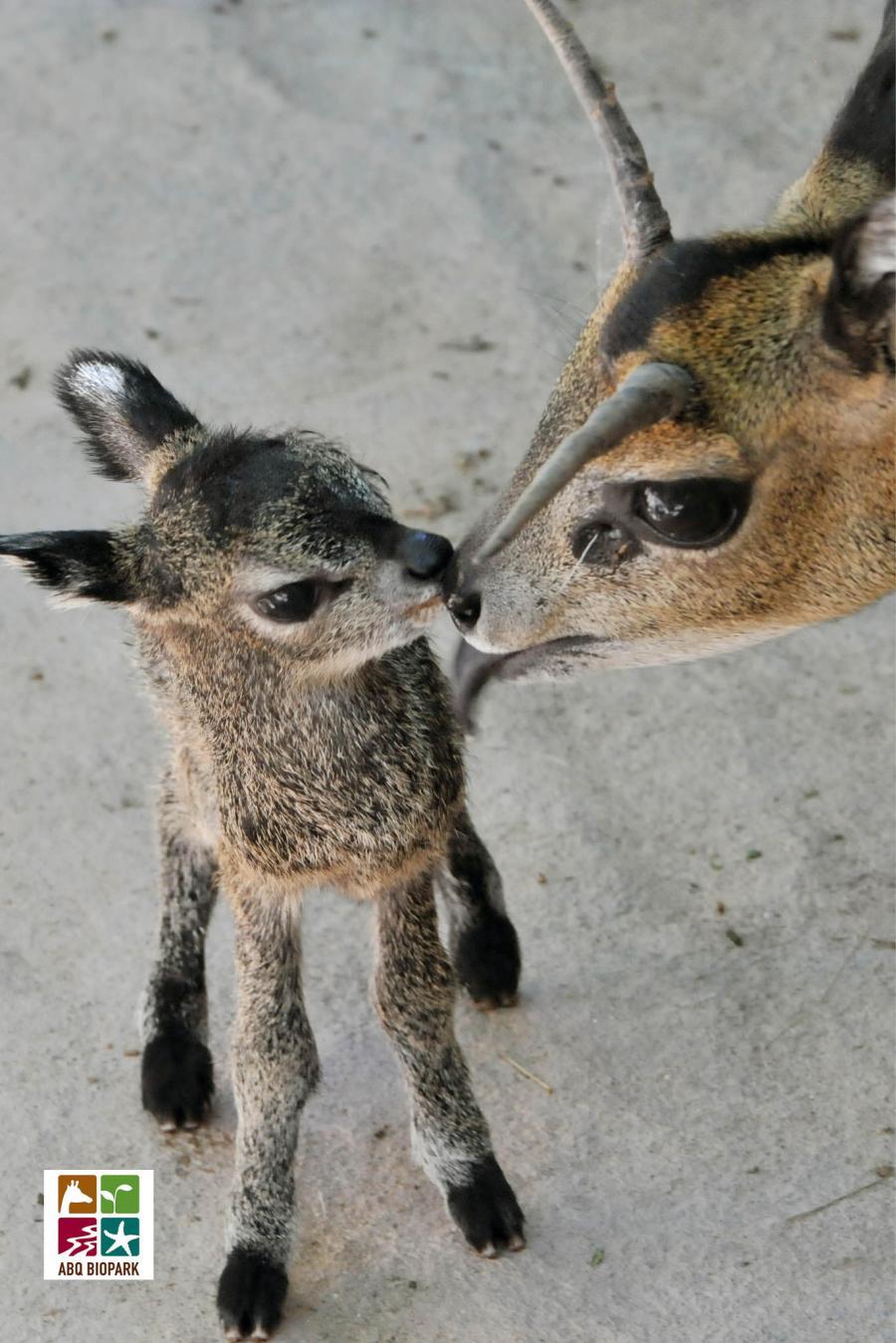 Baby Klipspringer ABQ BioPark Zoo