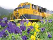 The Alaska Railroad passes by wildflowers.