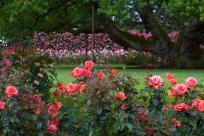 Owen Rose Garden in Summer