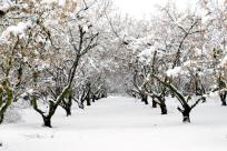 Hazelnut Trees in the Snow