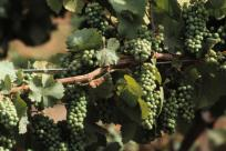 Pinot Grapes in the Vineyard