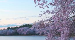 Cherry Blossom Tour Screenshot