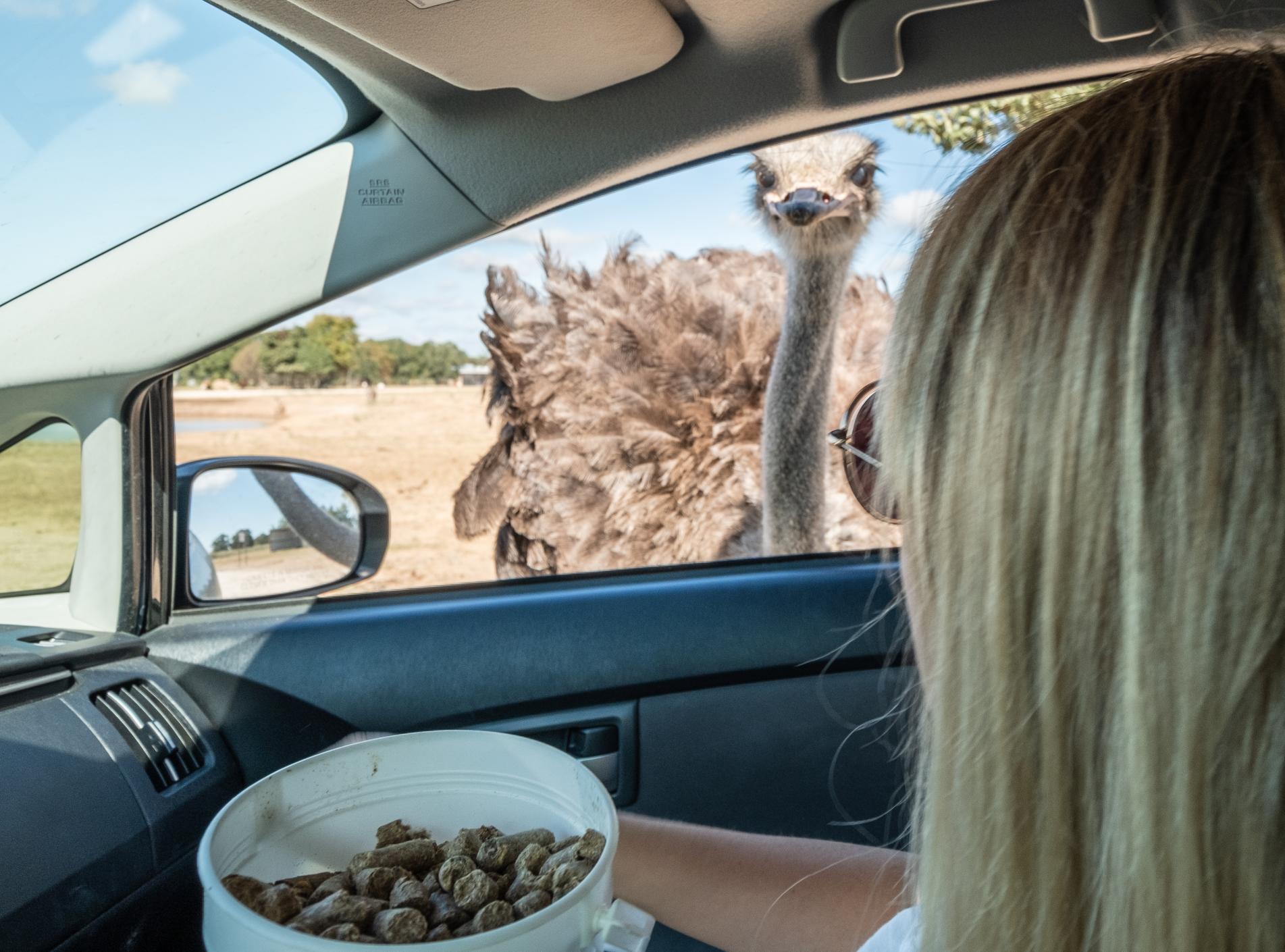 Aggieland Safari Drive-Thru Ostrich
