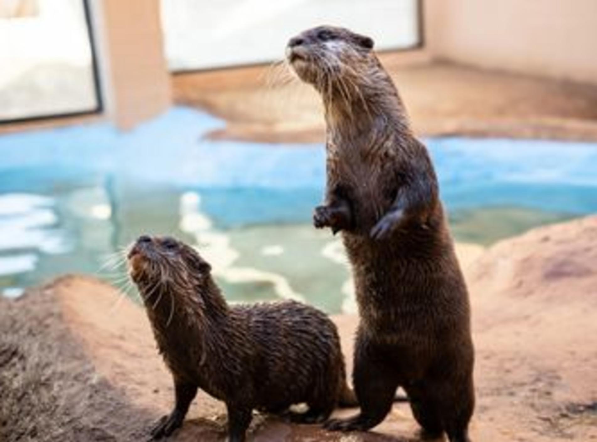 Aggieland Safari Otters