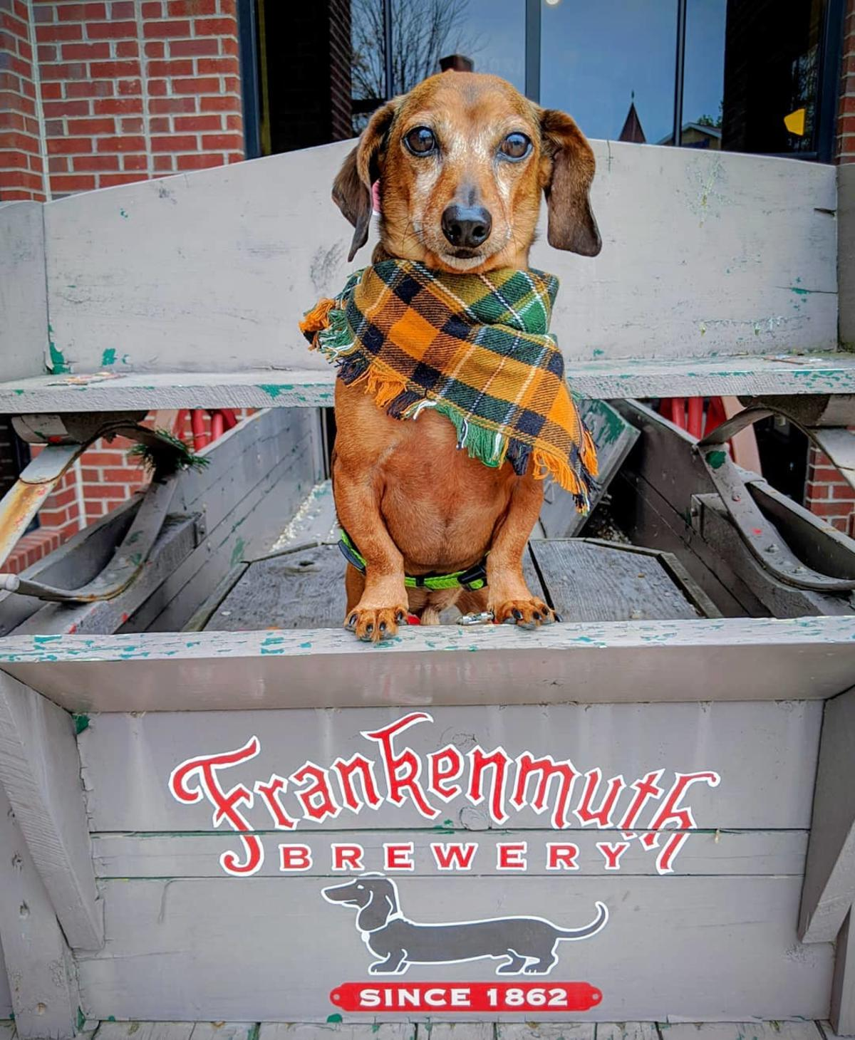 Dachshund sitting in the old Frankenmuth Brewery tractor in Frankenmuth
