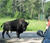 Bison watching, Riding Mountain National Park