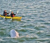Kayak with belugas