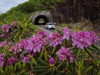 Parkway Tunnel with Rhododendron