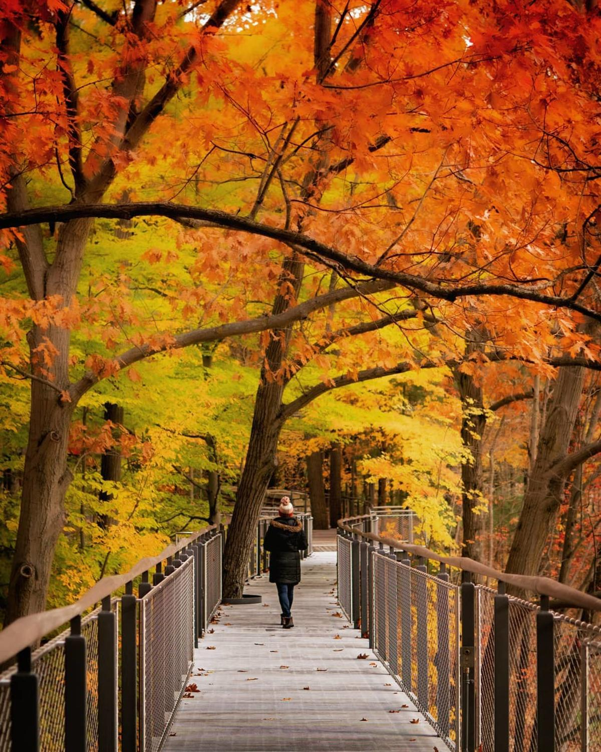 Woman walking through the fall-tinted trees on the Canopy Walk at Whiting Forest of Dow Gardens in Midland