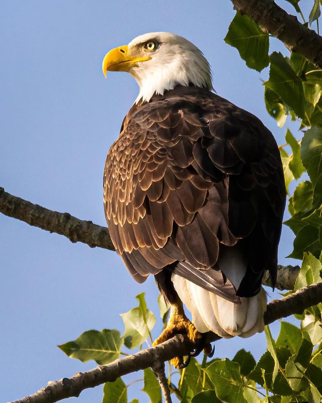 Bald eagle on the Wildlife Drive at Shiawassee National Wildlife Refuge in Saginaw