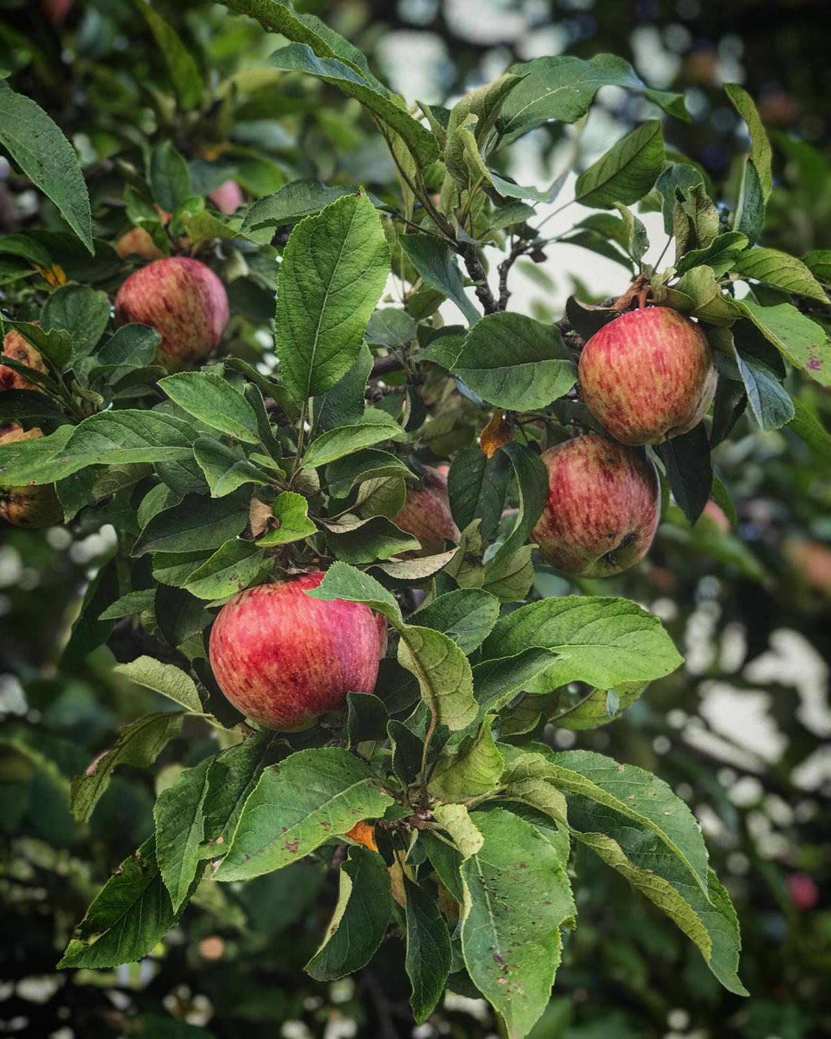 Close-up of apples on tree at Bayne's Apple Valley Farm in Freeland