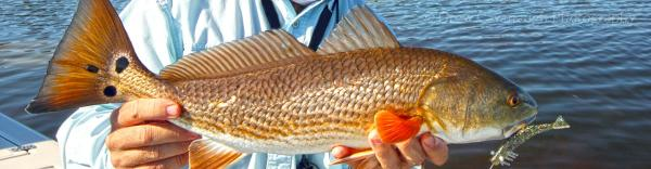 An angler holding a redfish
