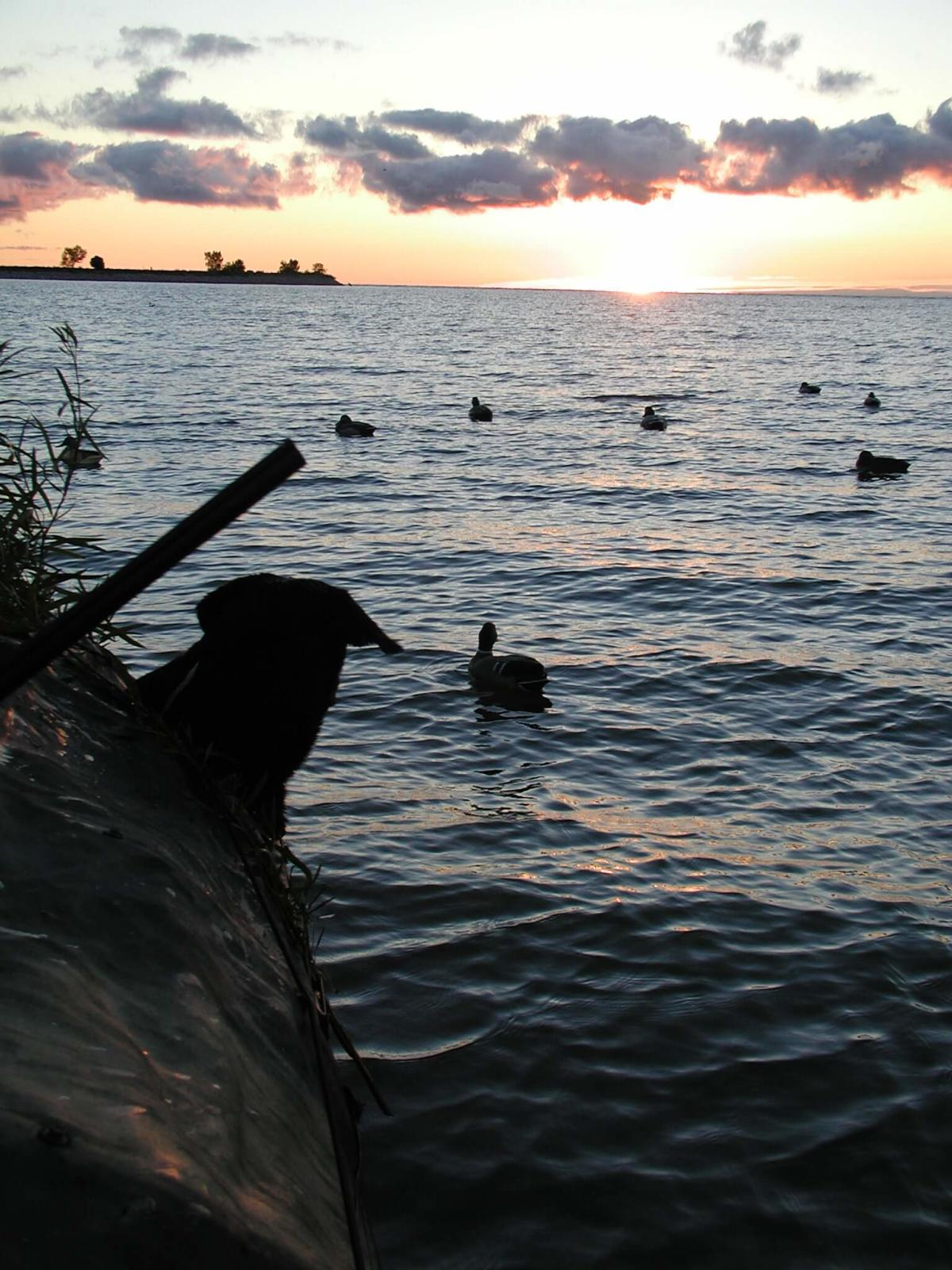Labrador retriever pokes its head out of a boat blind to watch decoys bob as a waterfowling day begins on Saginaw Bay