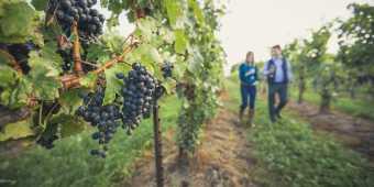 Vines at a Niagara on the Lake winery