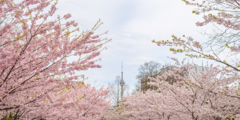Cherry blossom trees with the CN Tower in the background