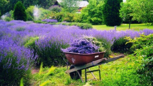 Lavender Fields at Warrington Manor