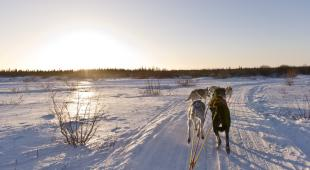 Dog sledding across the Tundra.