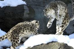Snow Leopards playing in the snow at the Roger Williams Zoo in Providence