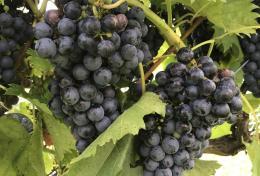 Grapes at The Winery at The Longshot Farm