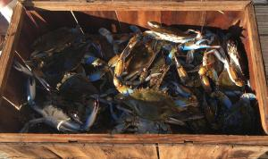 Fresh Blue Crabs @ Peace River Seafood