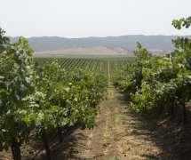 Vineyards in Salinas Valley