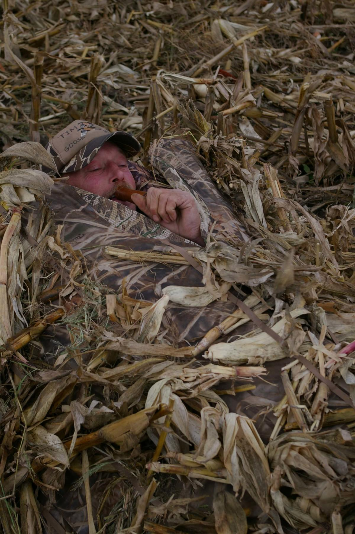 A hunter enclosed in a coffin-style ground blind in a Midland County cornfield blows on a goose call, hoping to entice a Canada goose within shotgun range