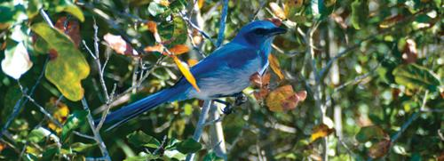 A scrub jay is perched on a branch at Lyonia Preserve and Environmental Center