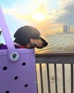 Dog in A Beach Bag In Panama City Beach