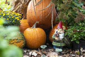Garden gnome hiding with pumpkins at the Botanical Conservatory's Punkin Path exhibit