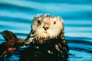 Monterey Bay Sea Otter