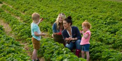 Two women with little kids picking strawberries at Huber's