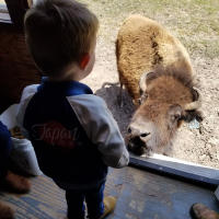 Young boy stands inside train car looking down at a bison, ready to feed it a treat pellet.