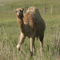 A young camel ambles through prairie grass at Terry Bison Ranch in Cheyenne, Wyoming