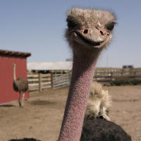 An ostrich is ready for its close up at Terry Bison Ranch in Cheyenne, Wyoming