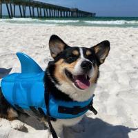 Corgi In A Shark Suit At Dog beach In Panama City Beach
