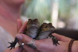 Hand holding two baby alligators at Babcock Ranch Eco Tours