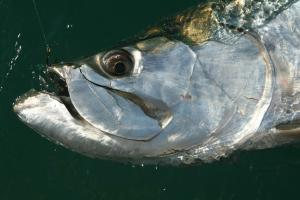 Fishing: Close up of the head of a hooked tarpon fish in the water