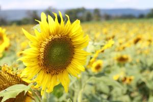 Sunflower field at Meadowbrooke Gourds