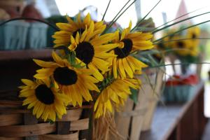 Sunflowers hanging out of a basket at Mount Rock Orchards in Shippensburg, PA