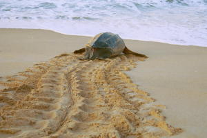 Sea turtle makes its way back to ocean after nesting on the beach