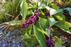 Berries growing in the wild