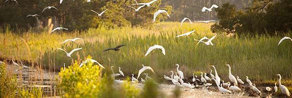 chincoteagueislandbirds