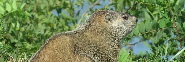 masonneckSPgroundhog