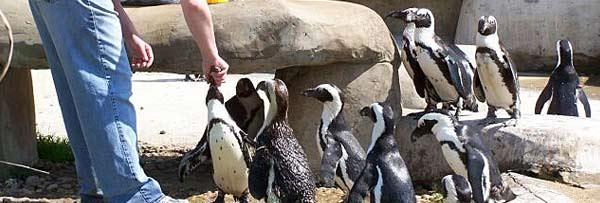 richmondmetrozoopenguins