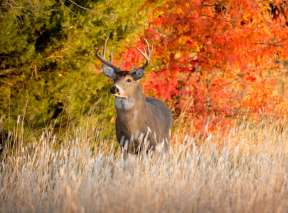 Buck in Wichita Park During Fall