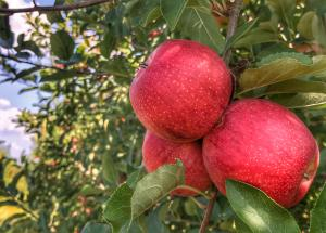 wilsons apples