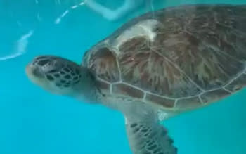 Santo Tilly turtle